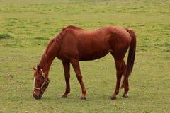Paard op een de herfstgebied royalty-vrije stock afbeelding
