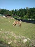 Paard op een Gebied royalty-vrije stock foto