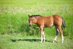 Paard op een gebied Stock Foto's