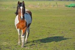 Paard op een Gebied Royalty-vrije Stock Afbeeldingen