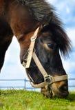Paard op een gebied Royalty-vrije Stock Afbeelding