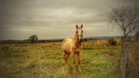 Paard op een gebied die aan de voorzijde kijken stock afbeelding