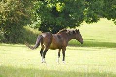 Paard op een gebied die zijn staart swishing Stock Afbeelding
