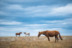 Paard op een gebied, landbouwbedrijfdieren, aardreeks Royalty-vrije Stock Fotografie