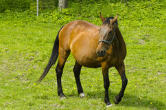 Paard op een weiland Royalty-vrije Stock Foto's