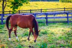 Paard op een weiland Stock Fotografie