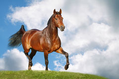 Paard op gebied Stock Afbeeldingen