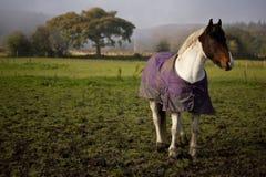 Paard op Gebied Stock Afbeelding