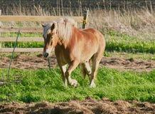 Paard op Grasrijk Gebied Stock Foto's
