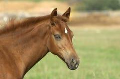 Paard op groen gebied Stock Afbeeldingen