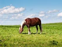 Paard op het weiland (165) Stock Afbeeldingen