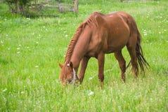 Paard op het Weiland Stock Afbeeldingen
