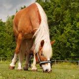 Paard op weide Royalty-vrije Stock Foto's