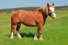 Paard op weiland Royalty-vrije Stock Afbeeldingen