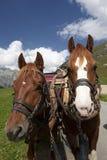 Paard, Paarden, Hoofd, Close-up, het Drijven Stock Afbeelding