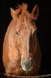 Paard in paddock royalty-vrije stock afbeelding
