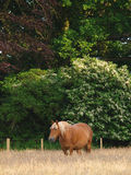 Paard in paddock Stock Afbeelding