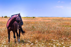 Paard portret Royalty-vrije Stock Afbeelding