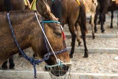 Paard in Santorini Griekenland Royalty-vrije Stock Foto's