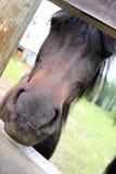 Paard selfie Stock Fotografie