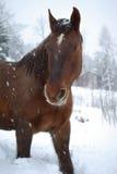 Paard in sneeuw Royalty-vrije Stock Foto's