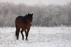 Paard in sneeuw Stock Afbeeldingen