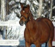 Paard in sneeuw Stock Fotografie