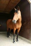 paard in stal Royalty-vrije Stock Afbeeldingen