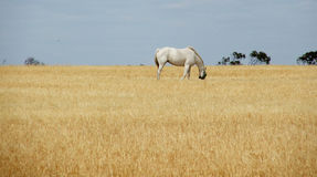 Paard in stro Stock Foto's