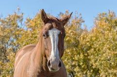 0003-paard tegen Autumn Background jpg Royalty-vrije Stock Foto