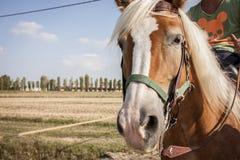 Paard tijdens een gang in het platteland Royalty-vrije Stock Foto