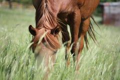 Paard tussen het gras Royalty-vrije Stock Afbeeldingen