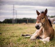 Paard van het veulen het Vlaamse landbouwbedrijf Royalty-vrije Stock Foto's