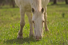 Paard vrij op een gebied in Argentinië stock foto