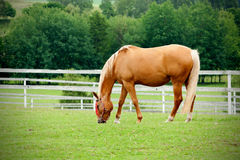 Paard in weide Royalty-vrije Stock Afbeelding