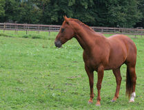 Paard in weiland Royalty-vrije Stock Foto