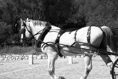 Paard zwart-witte foto Stock Foto