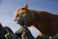 Paardclose-up Royalty-vrije Stock Afbeelding