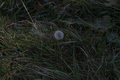 Paardebloem alleen in het gras Royalty-vrije Stock Foto