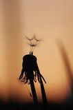 Paardebloem bij zonsondergang royalty-vrije stock fotografie