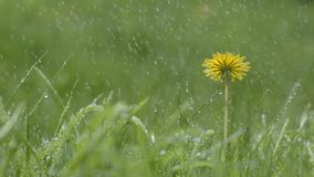 Paardebloem in de regen De lentemacro stock video