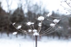Paardebloem die in sneeuw in een sneeuwbos wordt behandeld stock foto's