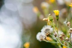 Paardebloem en gele bloem Stock Afbeeldingen