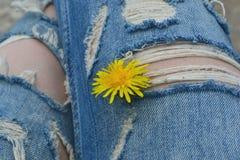 Paardebloem en gescheurde jeans Royalty-vrije Stock Foto's