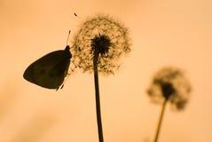 Paardebloem en vlinder Stock Afbeeldingen