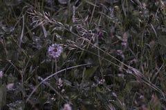 Paardebloem in gras met ochtenddauw stock afbeelding