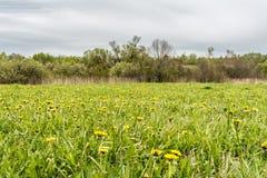 Paardebloem in groen gras Mooi de lente panoramisch schot met een paardebloemweide Gebied van paardebloemen op achtergrond van de royalty-vrije stock afbeeldingen