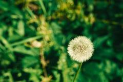 Paardebloem het groeien in het groene gras in de zomer stock foto's