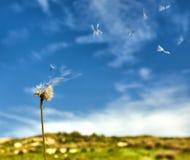 Paardebloem met zaden die in de wind wegblazen stock foto's