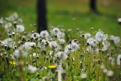Paardebloem onder bloemen Stock Afbeeldingen